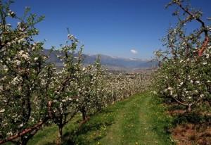 I meli della Val di Non